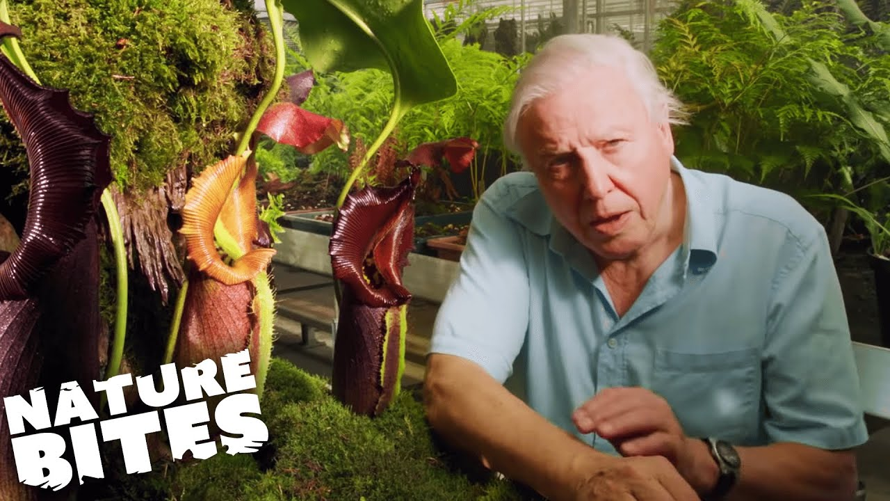 Download David Attenborough VS A Deadly Plant!   Nature Bites