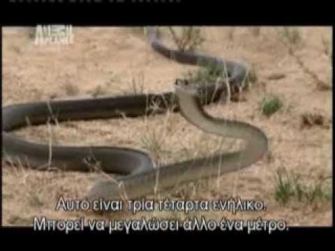 Austin Stevens Vs Black Mamba