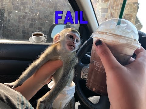 Baby monkey | Max goes to Starbucks