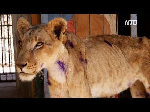 Спасение львов: в