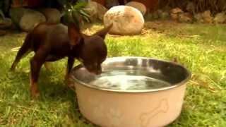 Самая маленькая собака в мире — чихуахуа Милли