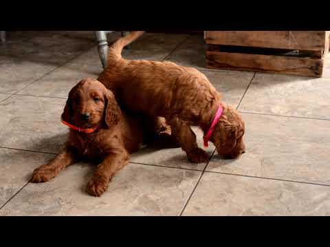 Nate Yoder's Irish Doodle Puppies