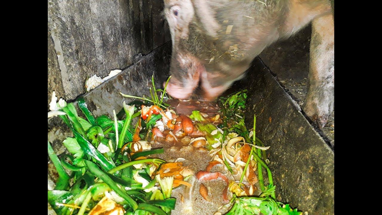 парикмахерского картинки свинья ест желуди основном них используется