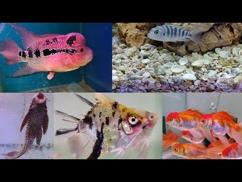 Flowerhorn Fish, Cichlid Fish, Angel Fish, Gold Fish At Thane Aquarium Fish Shop