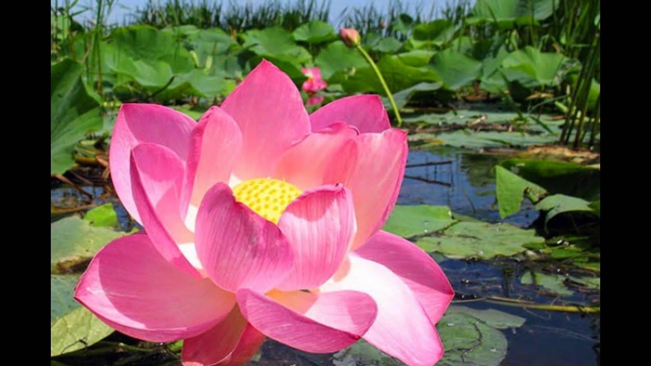 Что символизирует лотос цветок