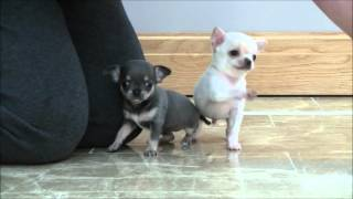 Chihuahua Puppies 30th October 2015