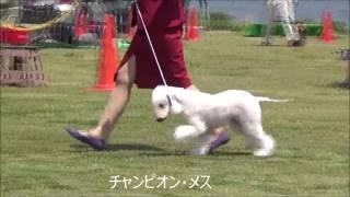 BOB ベドリントン・テリア(11) パピー・オス LAPIN AGILE JP YOUNG MA...