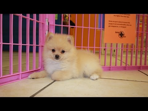 Pomeranian, Puppies For Sale, In Mobile, County, Alabama, AL, 19Breeders, Tuscaloosa, Decatur