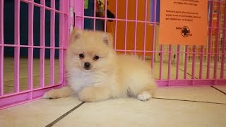 Pomeranian Puppies For Sale Local Breeders