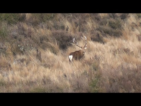 New Record 223 Sika Stag