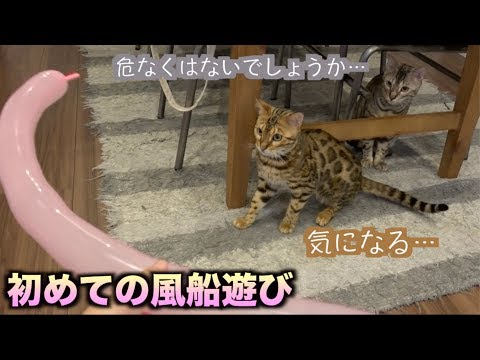 初めて風船を見た猫たちの反応意外なものだった。。。