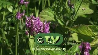 Vlinders! Citroentje - Gonepteryx rhamni -  Common Brimstone butterfly