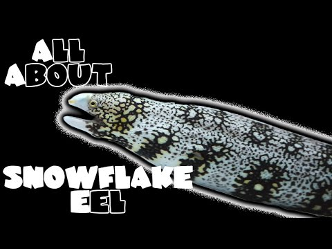 All About The Snowflake Moray Eel | SHRIMP FEEDING