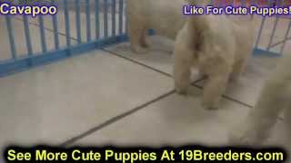 Cava Poo, Puppies, For, Sale, In, Rio Rancho, New Mexico, County, Nm, Sandoval, San Juan, Mckinley,