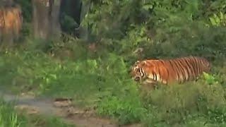 Tiger and Baby Rhino- Kaziranga Park