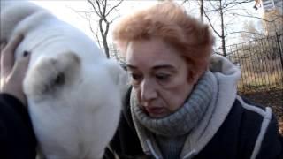 Обучение глухого алабая Бадди (АлабайХелп) - 1 занятие на площадке