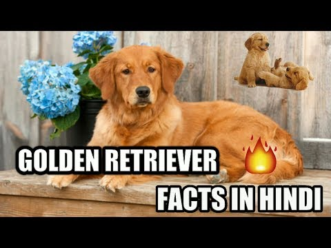 Golden Retriever Dog Facts | in Hindi | Dog Facts