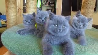 Битанские котята в Екатеринбурге