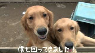 http://life-with-dog.net/ 埼玉県のゴールデンです。 毎日元気に、遊ん...