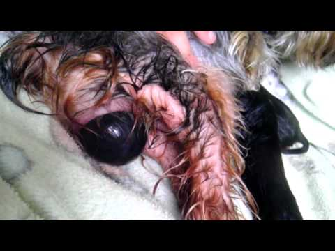 Yorkie Having Her Puppies Youtube
