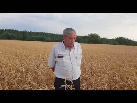 Яровая пшеница Ульяновская 105 у Камиля Бургановича в Хлеборобе. Уборочная 2018