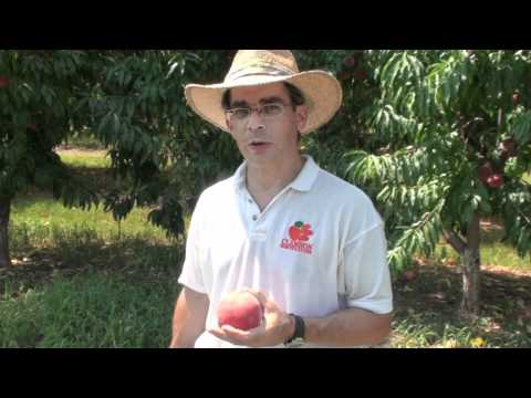Peach Picks for South Carolina - #12 Sugar Giant - Everything About Peaches