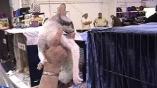 The Cornish Rex Cat Breed