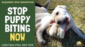 Teach a Lab Puppy Not to Bite