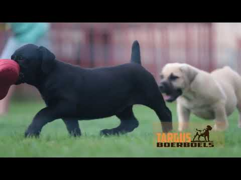 Fantastic SOUTH AFRICAN BOERBOEL Puppies  From South Africa   Targus Boerboels