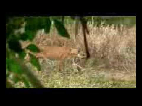 4bfc9af1e3e Endangered Florida Panther Caught On Video Mossy Oak - YouTube