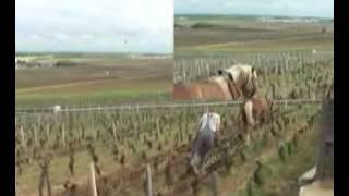 labour dans les vignes en côte-d'or (21).