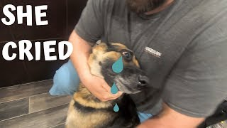german-shepherd-guard-dog-cries-when-she-sees-missing-owner