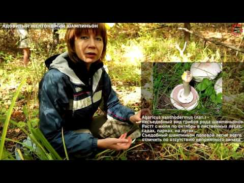 Зимний гриб опенок (фламмулина): фото, описание