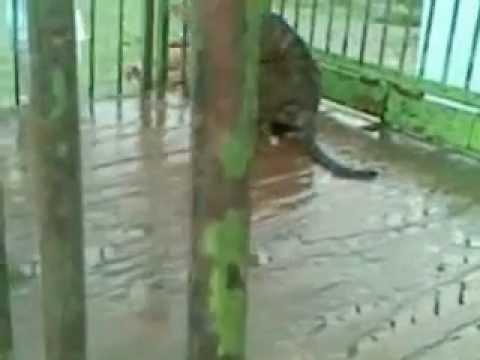 Video de Cachorro de Tigre en el Circo Forum International Circus