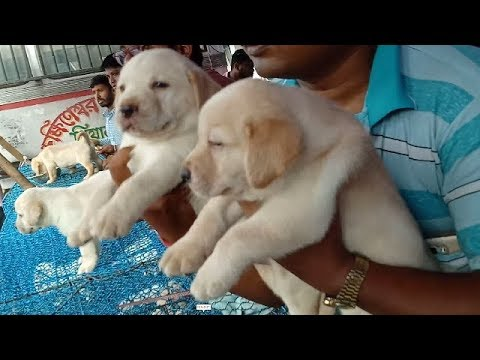 Imported Bloodline Punch Faced Labrador Puppy At Galiff Street l Together
