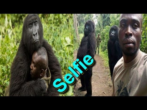 Gorillas pose for selfie in Virunga National Park