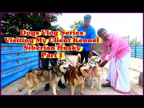 Dogs Vlog Series |Visiting My Client Kennel Siberian Husky |Part 1