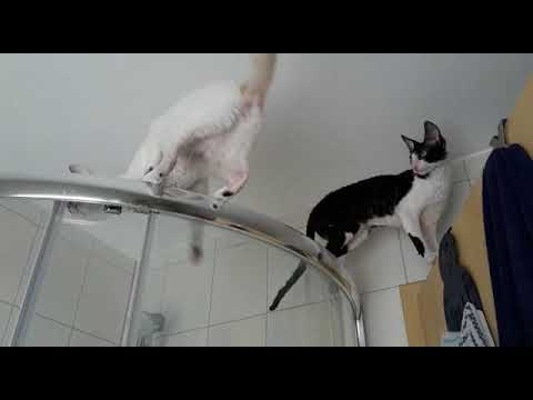 Cornish Rex Kittens in sweet Home! Was machen die da oben?