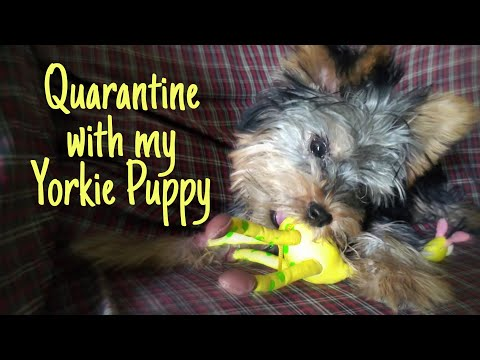 Quarantine With My Yorkie Puppy (5 Months Old)