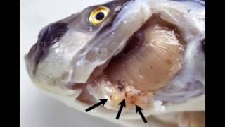 monogenea kopoltyú paraziták