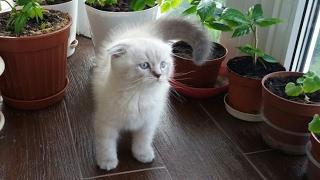 Котенок Скоттиш фолд Блю поинт 2 месяца