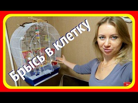 Как поймать попугая в комнате волнистого