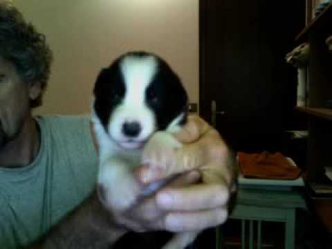 border collie cuccioli 14 giorni ALTAIR www.petrademone.it PDT