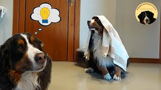 BERNESE MOUNTAIN DOG DOES the INTELLIGENCE TEST for dogs!