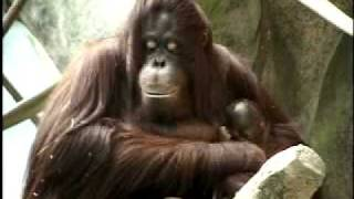 Orangutan Baby at Brookfield Zoo