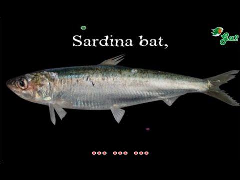 Sardina bat