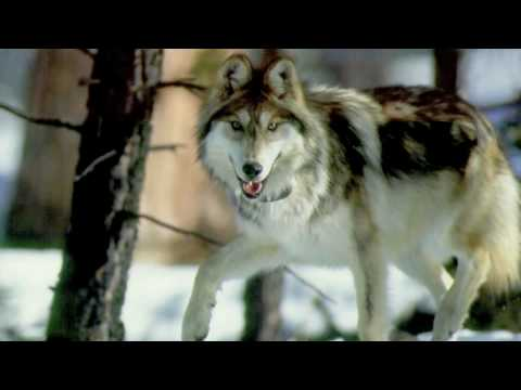 All About Grey Wolves