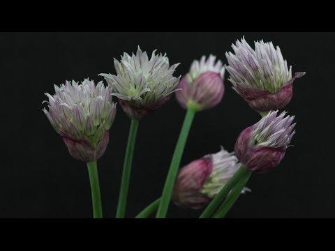 allium schoenoprasum schnittlauch chives youtube. Black Bedroom Furniture Sets. Home Design Ideas