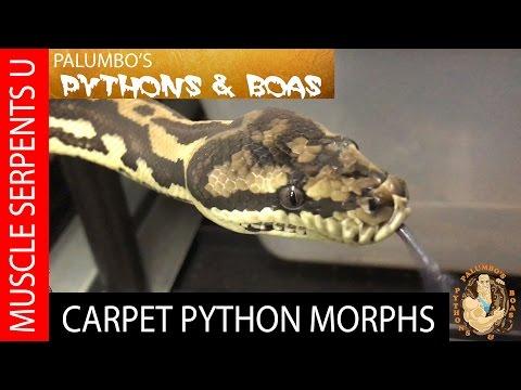 Carpet Python Breeding & Genetics at Palumbo's Pythons & Boas