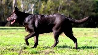 Порода собак  Австралийская келпи